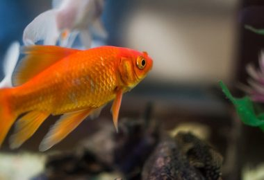 Why do carnival fish die so quickly