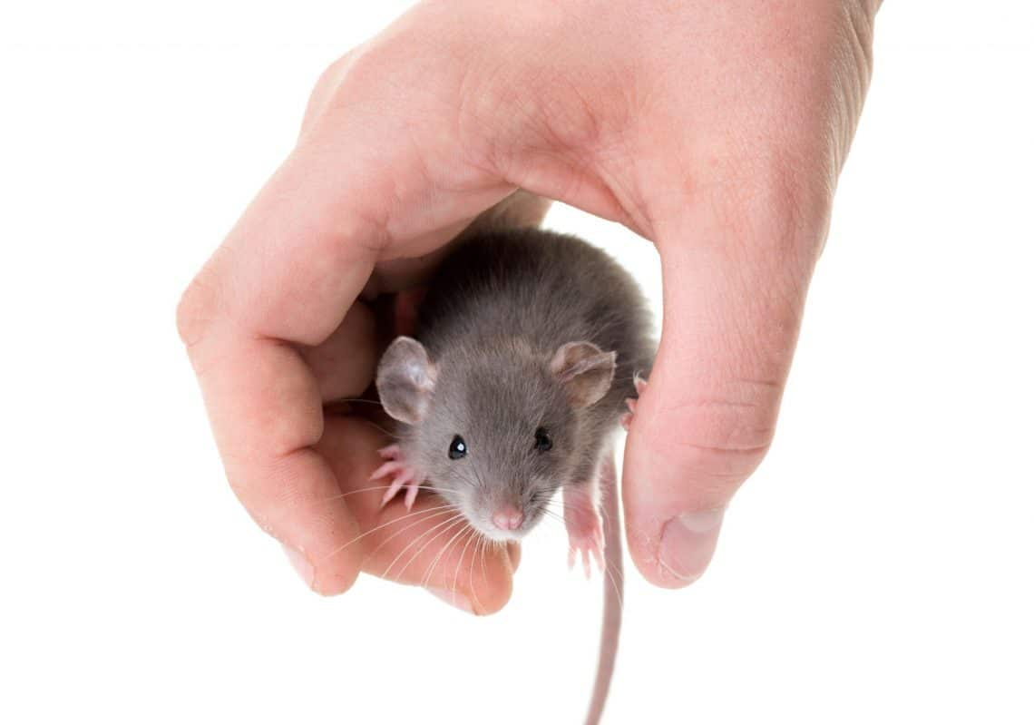 How Long Do Pet Rats And Mice Live