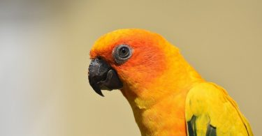 Type Of Conure, Facts & Care As Pets