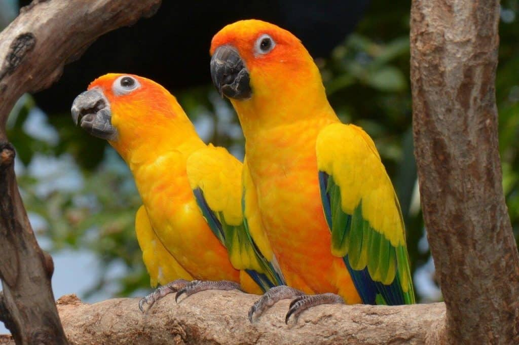 Types of Aratinga Conures