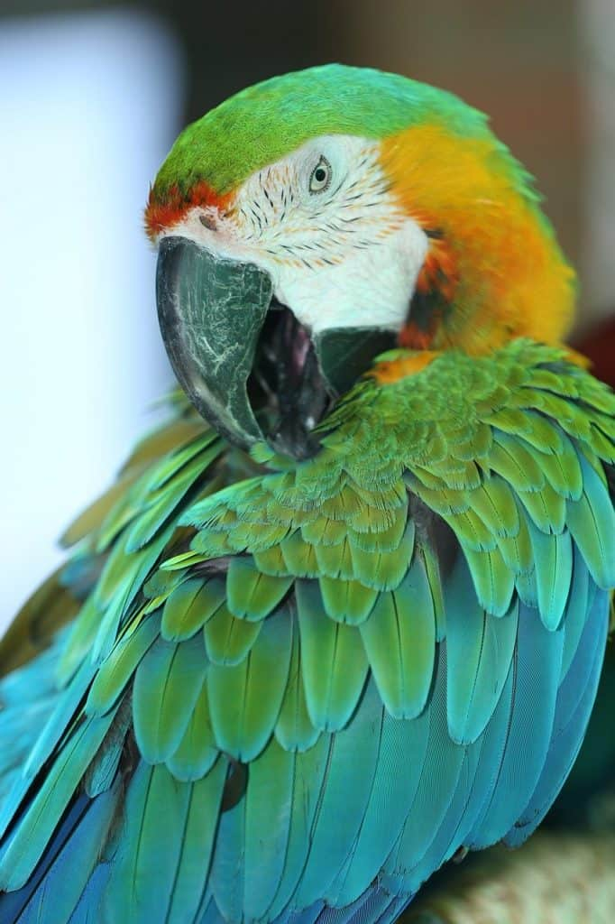 The Golden Parakeet