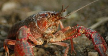 How often do crayfish molt?