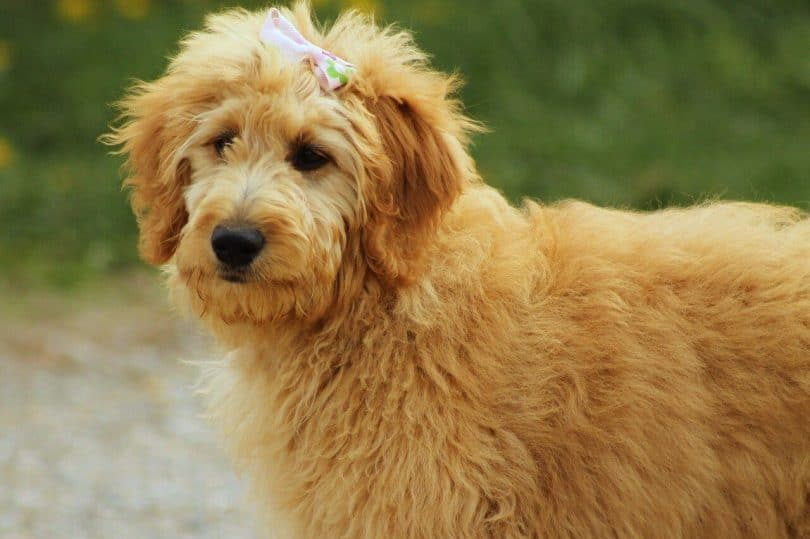Are Goldendoodle Hypoallergenic