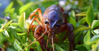 What Do Crayfish Eat