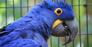 Hyacinth Macaw - Types, Size, Care, Lifespan, Facts & Price