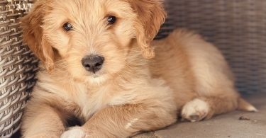 How Long Does Goldendoodle Live?