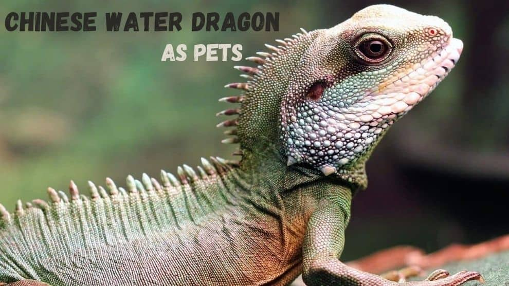 Chinese Water Dragon As Pets