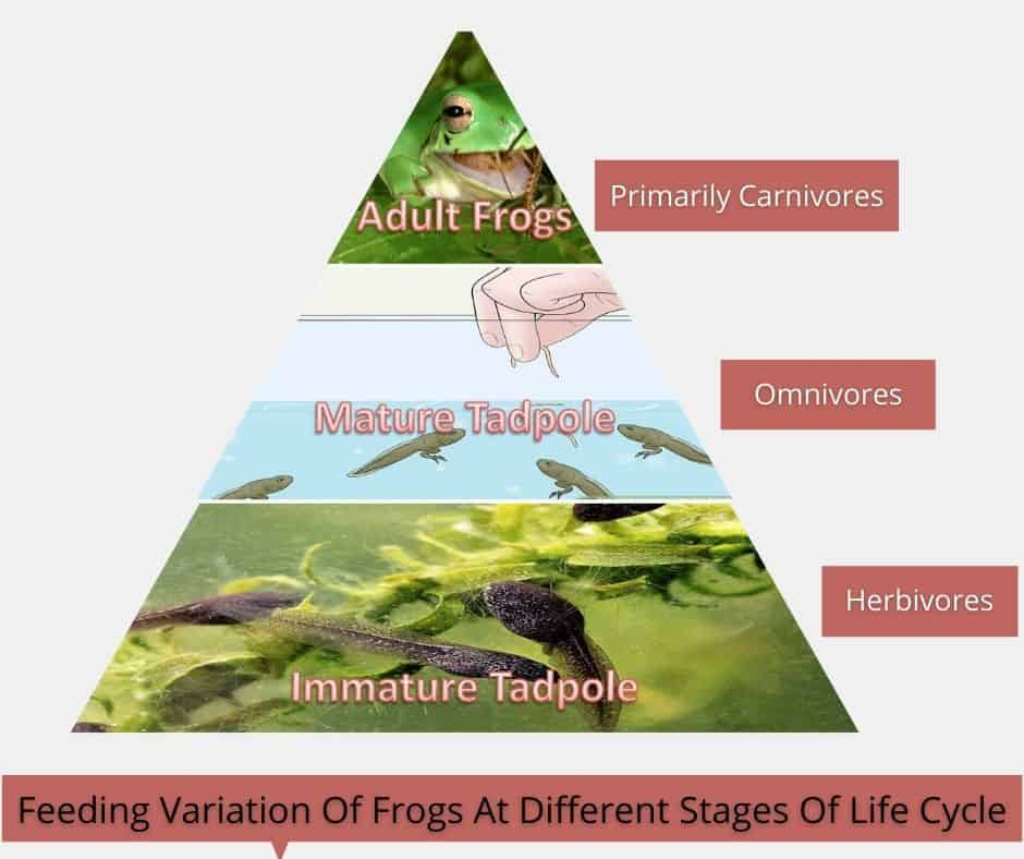 Feeding Variation Of Frogs At Different Stages Of Life Cycle