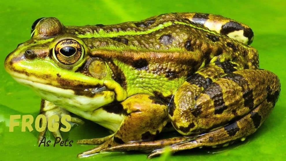 Frogs As Pets
