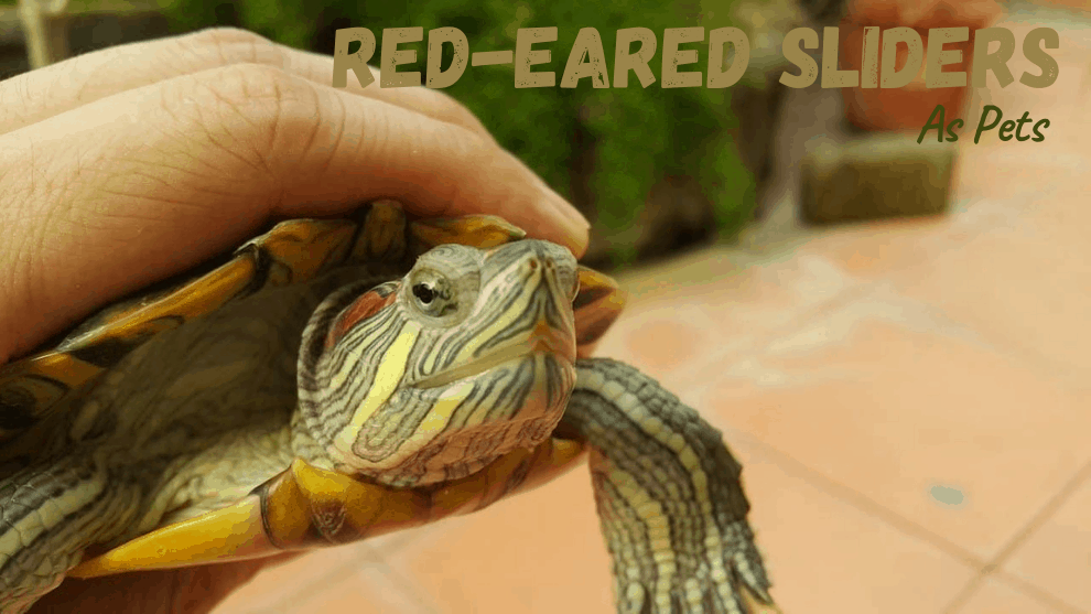 Red-Eared Slider As Pets