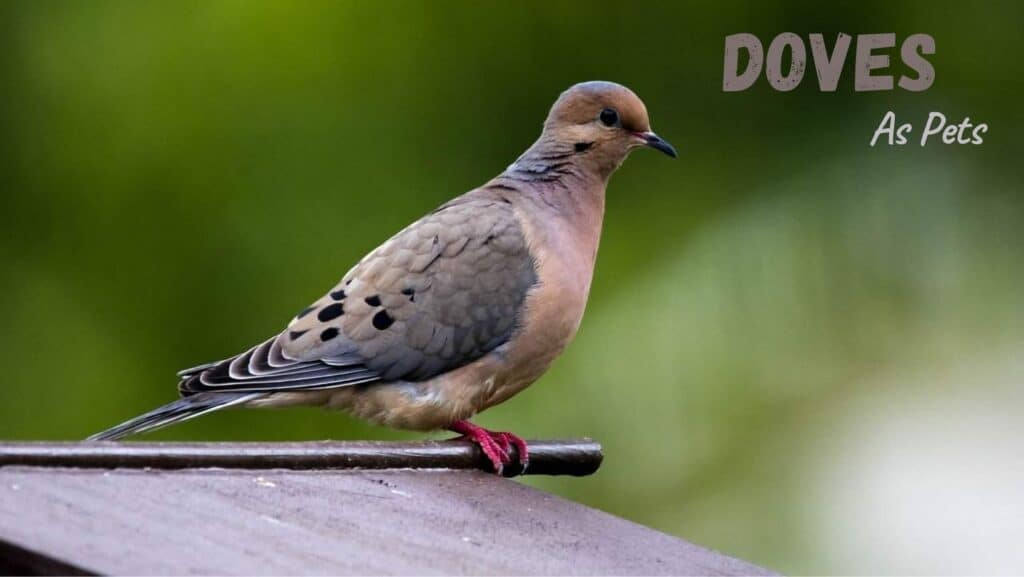 Doves As Pets
